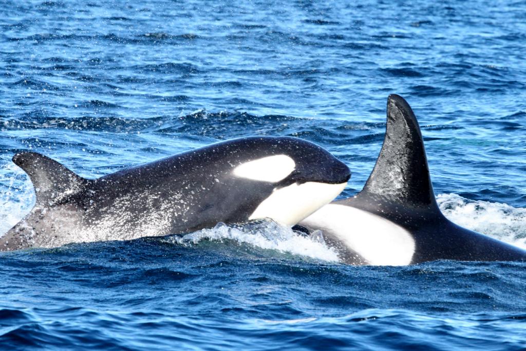 Two Orcas II